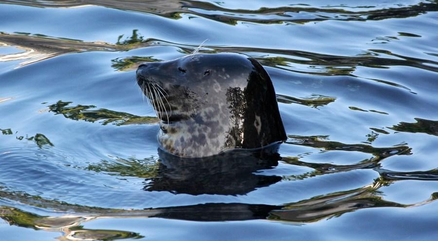 Harbor Seal 58394