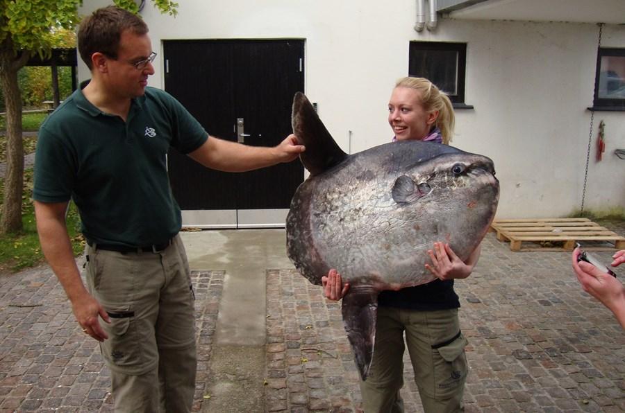 Dyrepasser Helle med erhvervsfiskerfanget klumpfisk på 31 kg. fra det nordlige Øresund okt. 2011 (1).JPG