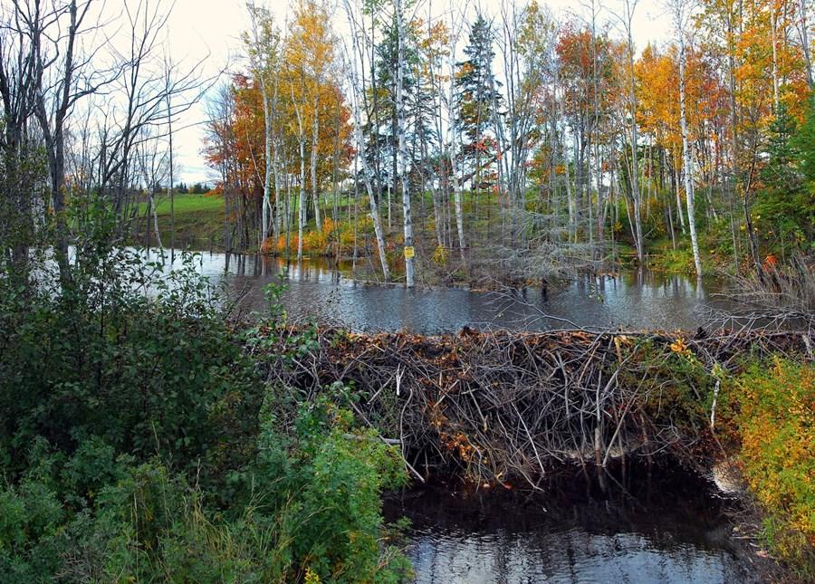 beaver-2397083_1920.jpg