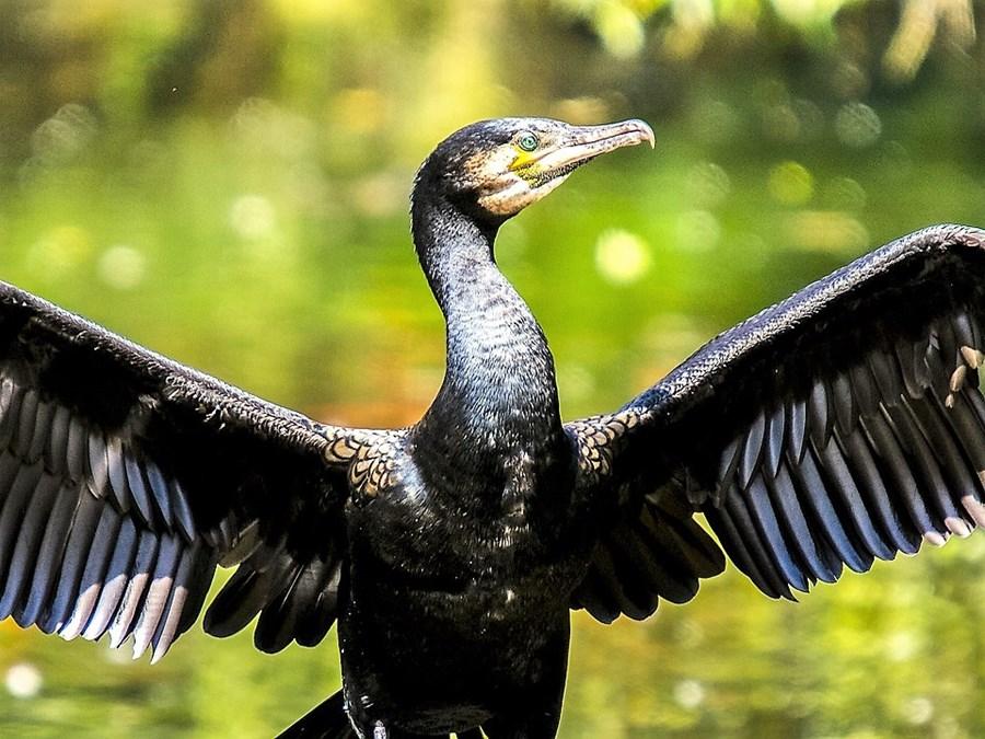 cormorant-2377841_960_720.jpg