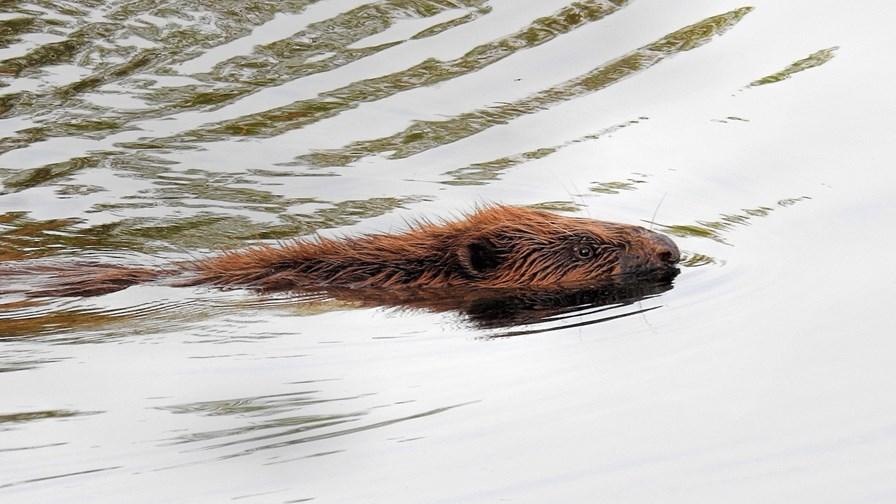Beaver 3204240